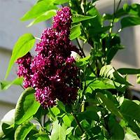 Lilac - Charles Joly