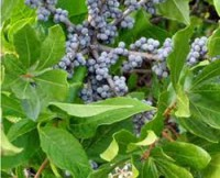 Bayberry Shrubs