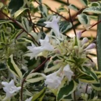 Abelia - Twist of Lime