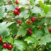 Alpine Currant