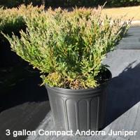 Compact Andorra Juniper