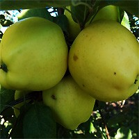 Apple Tree - Ginger Gold