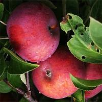 Apple Tree - McIntosh