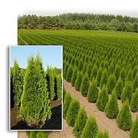 Arborvitae - Emerald