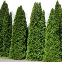 Pyramidalis Arborvitae