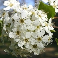Aristocrat Flowering Pear