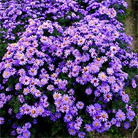 Aster - Woods Blue