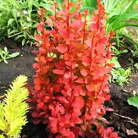 Barberry - Orange Rocket