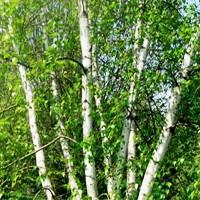 Birch - Whitespire