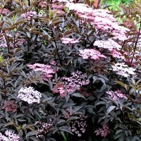 Black Beauty Elderberry