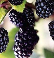 Arapaho Thornless Blackberry