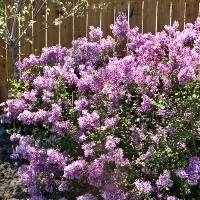 Lilac - Bloomerang™