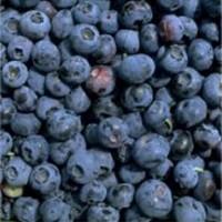 Patriot Blueberry Bushes