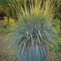 Grass - Blue Oat