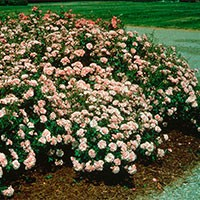 Rose - Bonica® - Shrub