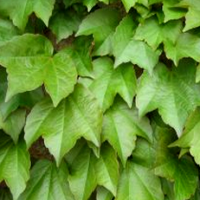 Boston Ivy Plants