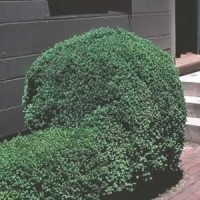 Boxwood - Emerald Jewel