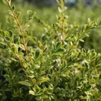 Boxwood - Golden Dream