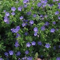 Brookside Geranium