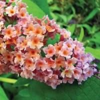 Butterfly Bush - BiColor