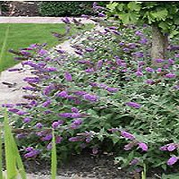 Butterfly Bush - Lo & Behold® Blue Chip