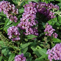 Butterfly Bush - Lo & Behold® Purple Haze