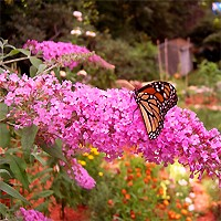 Butterfly Bush - Pink Delight