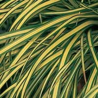 Grass - Evergold Sedge