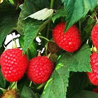 Raspberry - Caroline