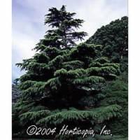 Cedar - Deodar