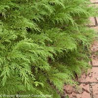Siberian Cypress - Celtic Pride