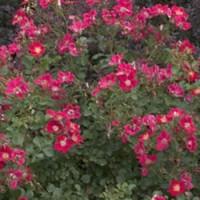 Rose - Oso Easy™ Cherry Pie - Shrub