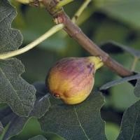Fig Tree - Chicago Hardy