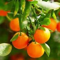 Mandarin Orange - Clementine