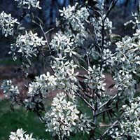 Serviceberry - Cole's Select