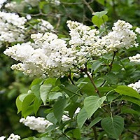 Lilac - Common White