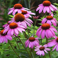 Kims Knee High Coneflower
