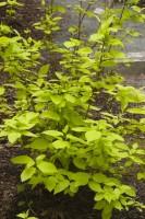 Garden Glow Dogwood