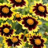 Coreopsis - Big Bang™ Cosmic Eye