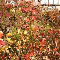 Cotoneaster - Peking