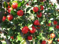 Cranberry Cotoneaster Shrubs
