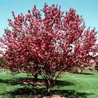 Crabapple - Red Barron
