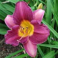 Daylily - Purple D' Oro