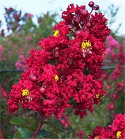 Crape Myrtle - Red