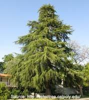 Deodar Cedar Trees