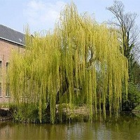 Weeping Willow - Niobe