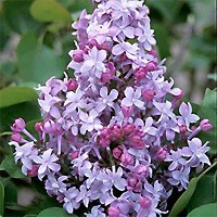 Lilac - Evangeline