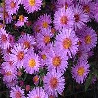 Aster - Woods Purple