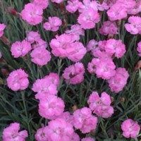 Dianthus - Tiny Rubies