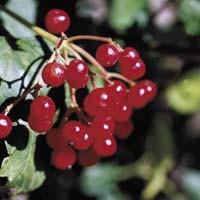 Dwarf European Cranberrybush Viburnum